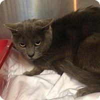 Adopt A Pet :: Munchkin - East McKeesport, PA