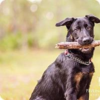 Adopt A Pet :: Koda - Ormond Beach, FL