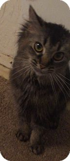 Domestic Longhair Cat for adoption in North Olmsted, Ohio - Bella-Courtesy Post