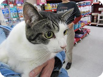 Domestic Shorthair Cat for adoption in Ferndale, Michigan - Ricardo