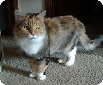 Calico Cat for adoption in Lawton, Oklahoma - SUSIE