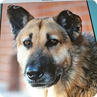 Adopt A Pet :: DUKE VON DOBERN - Los Angeles, CA