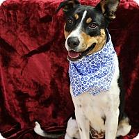 Adopt A Pet :: Indi - Yucaipa, CA