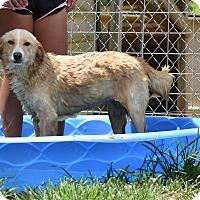 Adopt A Pet :: Goldy - Groton, MA