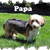 Petit Basset Griffon Vendeen Dog for adoption in Fallston, Maryland - Papa