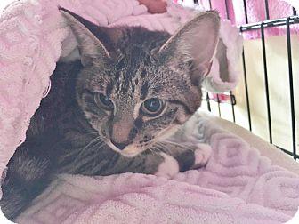 Domestic Shorthair Kitten for adoption in Salisbury, Massachusetts - Kira