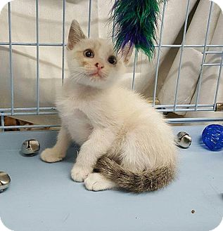 Siamese Kitten for adoption in Overland Park, Kansas - Mickey