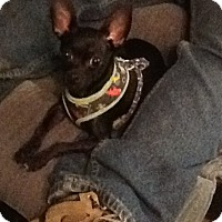 Chihuahua Dog for adoption in Spencer, Oklahoma - Chico