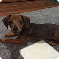 Adopt A Pet :: Tom - Troy, MI