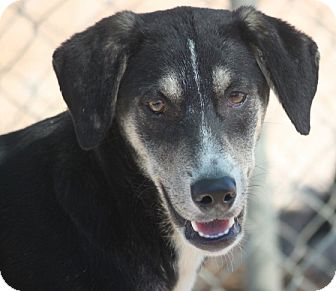Shepherd (Unknown Type)/Labrador Retriever Mix Dog for adoption in Hudson, New Hampshire - Grotto