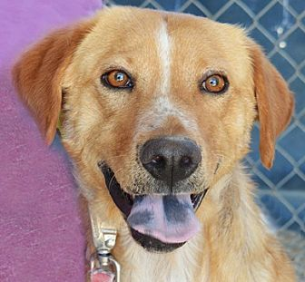 Golden Retriever Mix Dog for adoption in Littlerock, California - Bosco