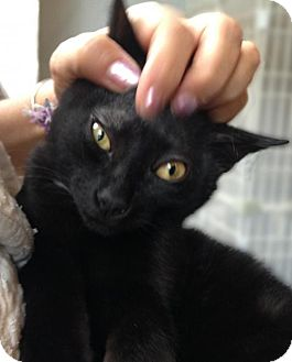 Bombay Kitten for adoption in Brooklyn, New York - Nod: Gorgeous Adorable Bombay Mix Kitten