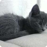 Adopt A Pet :: MISTY BLUE - Mt. Laurel, NJ