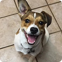 Jack Russell Terrier/Australian Cattle Dog Mix Puppy for adoption in Southington, Connecticut - Rowdy
