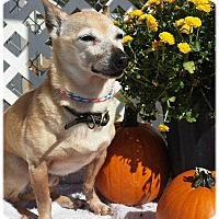 Chihuahua Mix Dog for adoption in Mooresville, North Carolina - Ricky Ricardo
