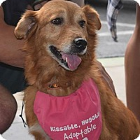 Golden Retriever Mix Dog for adoption in Fort Worth, Texas - Sassy #0560