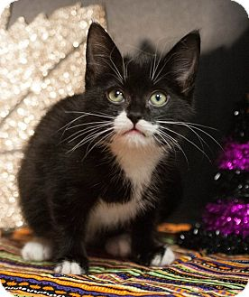 Domestic Mediumhair Kitten for adoption in Muskegon, Michigan - Ace
