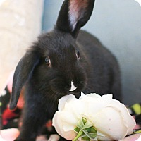 Mini Lop Mix for adoption in Livermore, California - Gracie