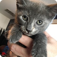 Adopt A Pet :: Belle - Staten Island, NY