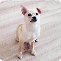 Chihuahua/Terrier (Unknown Type, Small) Mix Dog for adoption in Fairfax, Virginia - Bora