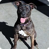 Adopt A Pet :: Bam Bam - Berkeley, CA