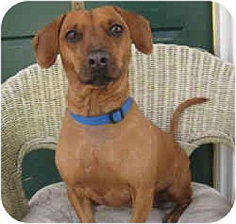 Dachshund Mix Dog for adoption in Encino, California - Hillary