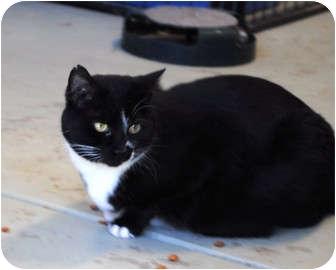 Domestic Shorthair Cat for adoption in Palmdale, California - Belinda
