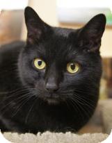 Domestic Shorthair Cat for adoption in Medford, Massachusetts - Blacky