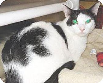 Domestic Shorthair Cat for adoption in Miami, Florida - Arthur