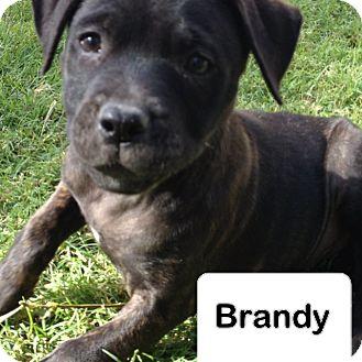 Boxer/Shepherd (Unknown Type) Mix Puppy for adoption in Scottsdale, Arizona - Casper