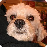 Adopt A Pet :: Monty - no shed maltipoo! - Phoenix, AZ