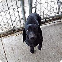 Adopt A Pet :: Licorice - Chewelah, WA