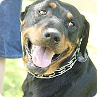 Adopt A Pet :: Pop - Gilbert, AZ