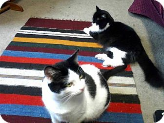 Domestic Mediumhair Cat for adoption in Cincinnati, Ohio - zz 'Sunny & Cher' courtesy post