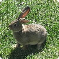 Adopt A Pet :: Samson - Bonita, CA