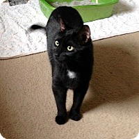 Adopt A Pet :: Midnight - Colmar, PA