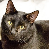 Bombay Cat for adoption in Oakland Park, Florida - Neguino
