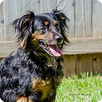 Spaniel (Unknown Type)/Dachshund Mix Dog for adoption in Lodi, California - Bandit 2