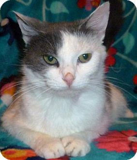 Domestic Shorthair Cat for adoption in Forest Lake, Minnesota - Goozee