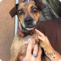Adopt A Pet :: Glenda - Westminster, CA