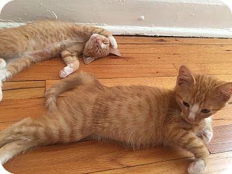 Domestic Shorthair Kitten for adoption in St. Louis, Missouri - Rick