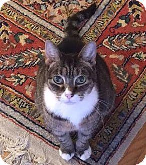Domestic Shorthair Cat for adoption in Los Angeles, California - Bang Bang The Wonder Cat
