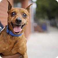 Adopt A Pet :: Jigsaw - Brooklyn, NY