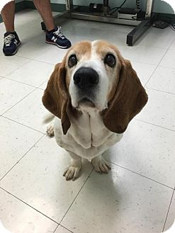 Basset Hound Dog for adoption in Cincinnati, Ohio - Nana (Koi)