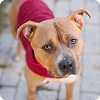 Adopt A Pet :: Nova - Reisterstown, MD