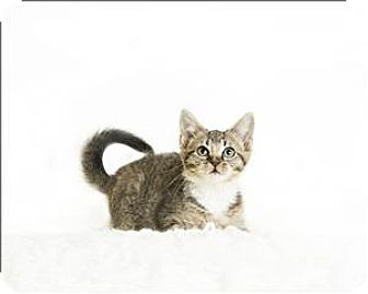 Domestic Shorthair Kitten for adoption in Troy, Virginia - Flounder