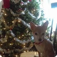 Adopt A Pet :: Pachachi - Ridgefield, CT