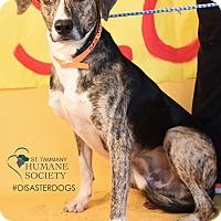 Adopt A Pet :: Flash - Covington, LA