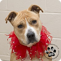 Pit Bull Terrier Mix Dog for adoption in Troy, Ohio - Sadie