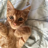 Adopt A Pet :: Tai Orange  kitten - Long Beach, CA